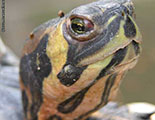 CyberDodo and Tortoises (1-24)