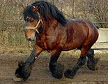 The quiz on draught horses (1-36)